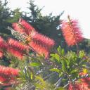 Naturflaschenbürstenplantage