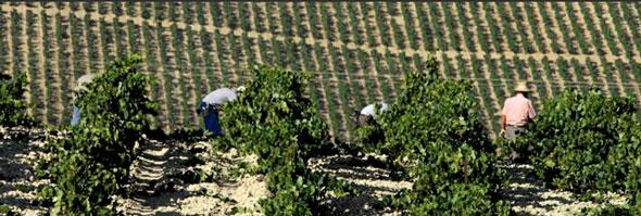 Ernte der Palomino-Trauben auf typischen Albariza-Kreideböden. © sherry.org