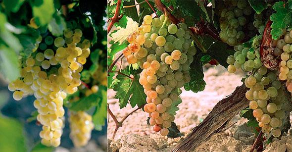 Die wichtigsten Rebsorten: Palomino (links) und Pedro Ximenez, © sherry.org