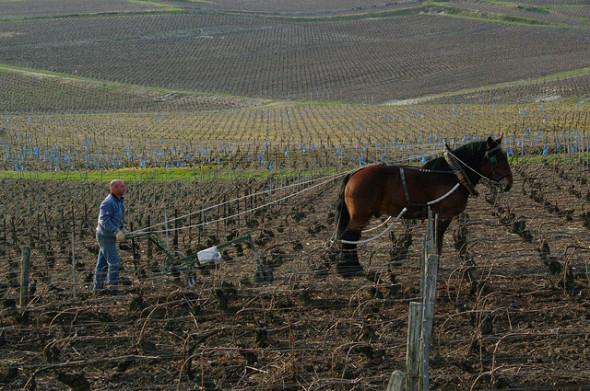 In zunehmend mehr Weinbergen wird wieder mit dem Pferd gearbeitet. Selbst bei einem so großen Haus wie Roederer. Doch das Pflügen mit den großen Gäulen will gelernt sein, wie hier, bei Tarlant. Creative Common License