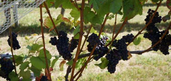 Pinot-Reben bei Neudorf