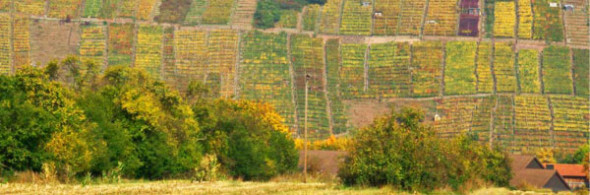 Alte churfränkische Weinlagen in Klingenberg mit teils wirzelechter gemischter Bestockung. Foto: Thomas Riedl
