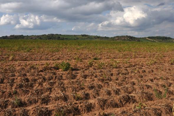 Für einen Kartoffelacker südlich von Siefersheim war die sommerliche Hitze nicht wirklich förderlich. Auch viele Maisfelder in der Umgebung waren durch die anhaltende Trockenheit schwer geschädigt. Was dem Weinbau zwar zusetzte aber größtenteils unbeschadet ließ, hatte bei vielen anderen Feldfrüchten gravierende Auswirkungen. Im Hintergrund die Lage Heerkretz mit einigen dicken, dunkleren Wolken darüber. Ein vertrautes Bild im Sommer 2015, wo oftmals dunkle Gewitterwolken zu sehen waren. Der erhoffte Regen dann aber ausblieb. Copyright: Wagner-Stempel
