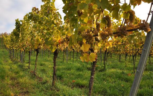 """Nahezu perfekt ausgereifte Rieslingtrauben Ende Oktober in der Heerkretz. Ein Anblick, der Vorfreude auf die jungen Weine des diesjährigen Weinjahres hervorruft. Es war keine negative Vorlese, kein mühsames Selektieren am Stock notwendig, sondern einfach nur """"Pflücken"""" hocharomatischer, voll ausgereifter Trauben. Copyright: Wagner-Stempel"""