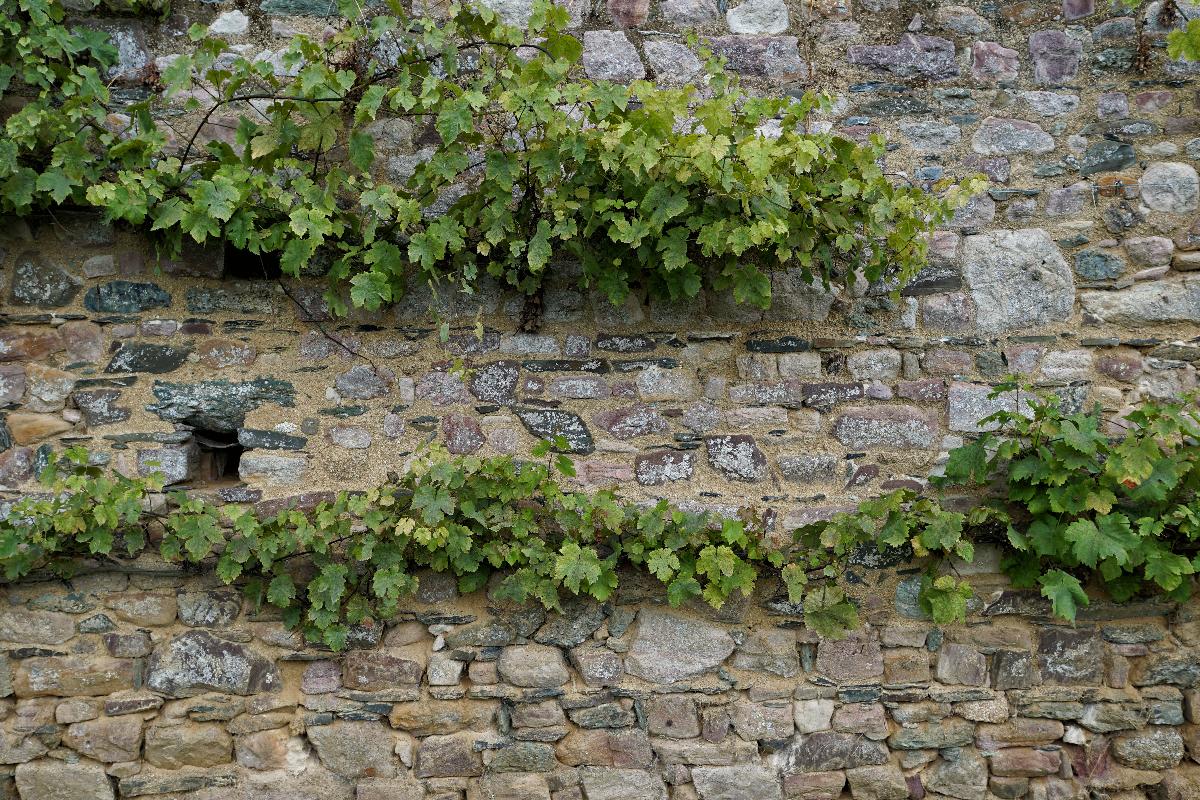 Alter Weinstock im Garten der Abbay de de Beauport, der locker über acht Meter an der Mauer entlang wächst.