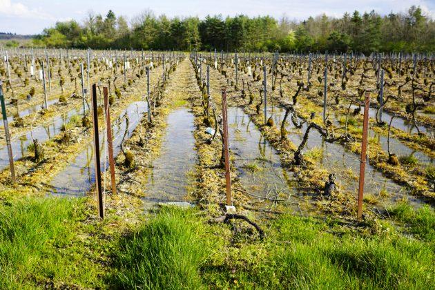 In diesem Weinberg wurde alles falsch gemacht, was man falschmachen kann. Er bringt trotzdem Ertrag, und der wird an große Unternehmen verkauft. © Christoph Raffelt